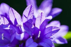 belles fleurs violettes sauvages dans la forêt d'été. photo