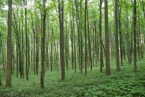 arbres élancés dans la jeune forêt verte en été