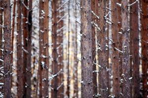 Texture de la forêt d'hiver de troncs de pin photo