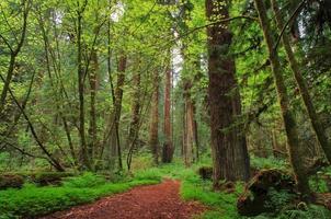 sentier à travers les séquoias