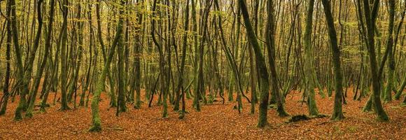 beau paysage de panorama de forêt d'automne d'automne doré vif