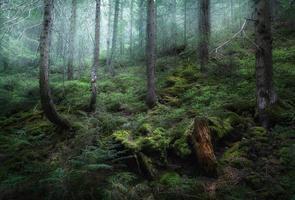 mystérieuse forêt de printemps dans le brouillard. matin en ukraine photo