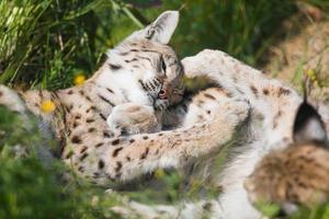 deux lynx joue dans l'herbe