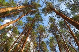 dans la forêt d'été avec des pins, vue d'en bas
