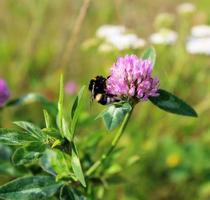 insectes sur une fleur violette. photo