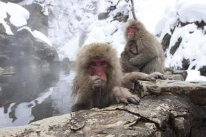 singes des neiges, nagano (japon) photo