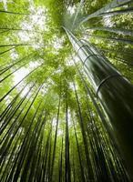 vue sur la forêt de bambous photo