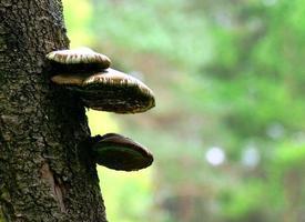 champignon sur arbre photo