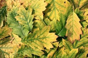 feuilles de chêne photo