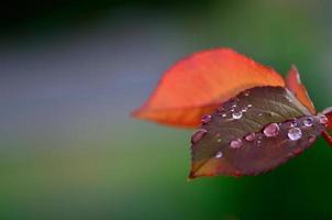 gouttes de pluie sur les pétales