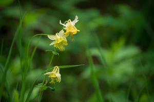 ancolie jaune (Aquilegia flavescens) photo