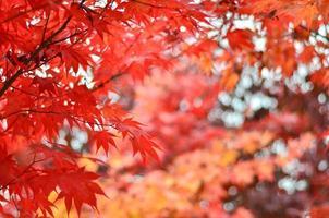 fond d'érable rouge