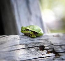 grenouille photo