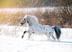 Le poney appaloosa court librement dans le champ d'hiver