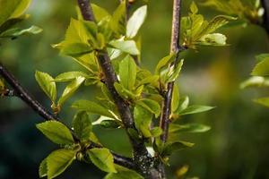 les jeunes feuilles des arbres