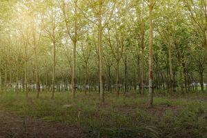 plantation d'hévéas photo