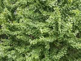 fond d'arbre de ginkgo photo