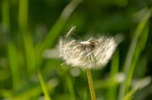 pissenlits qui fleurissent dans un champ
