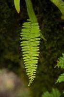 feuille de fougère verte.