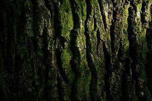 écorce de chêne. photo