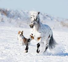 Appaloosa pony et border collie sable court au galop en hiver
