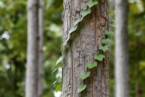 écorce d'arbre avec du lierre photo