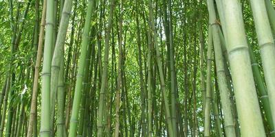 bambou photo