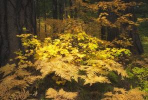 fougères colorées d'automne dans le mt. forêt nationale de Hood
