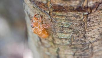 coquille de cigale sur arbre photo