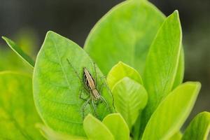 araignée de Thaïlande