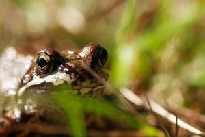 grenouille dans l'herbe photo