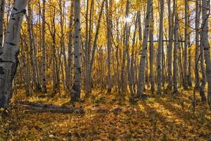 Coucher de soleil d'automne dans un bosquet de trembles