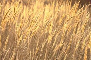 photo abstraite de carex doré