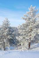 pins couverts de neige sur la montagne photo