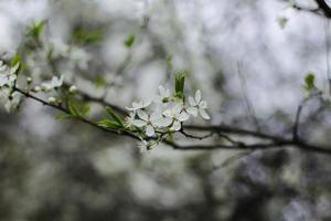 fleur de branche de cerisier pleurnicher photo