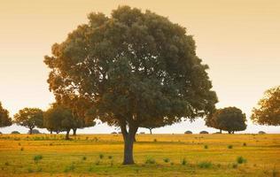 chênes verts, ilex dans une forêt méditerranéenne. parc cabaneros, espagne photo