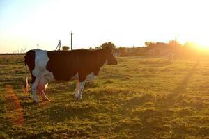 vache dans un champ au coucher du soleil