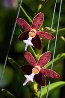 bulbophyllum photo