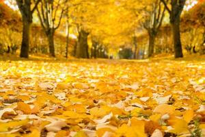 allée de tilleul en automne.