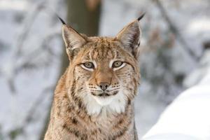 Lynx eurasien regardant la caméra dans une forêt enneigée photo