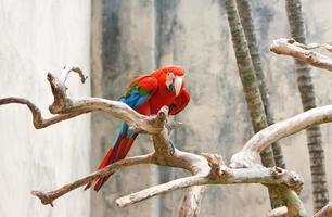 perroquet ara rouge vif, assis sur une branche.