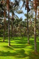 palmiers à tenerife - îles canaries photo