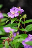 fleur sauvage du sud de la thaïlande photo