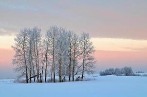 groupe d'arbres dans le champ au coucher du soleil. photo