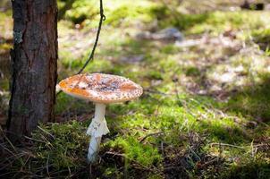 mouche de champignon vénéneux agaric, rouge et blanc dans la forêt photo