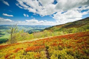 les myrtilles poussent sur les pentes des montagnes des Carpates. photo