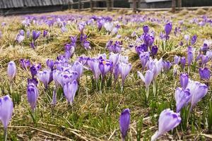 crocus sur un glwde au printemps