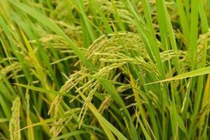 rizières paddy green en thaïlande.
