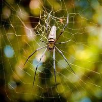 grande araignée tropicale sur le web