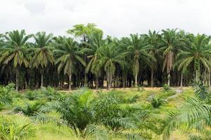 plantation d'huile de palme photo